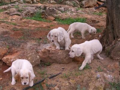 Cachorros nacidos el 29-9-09 hijos de Doc de Sonella  Zita de Sosobal